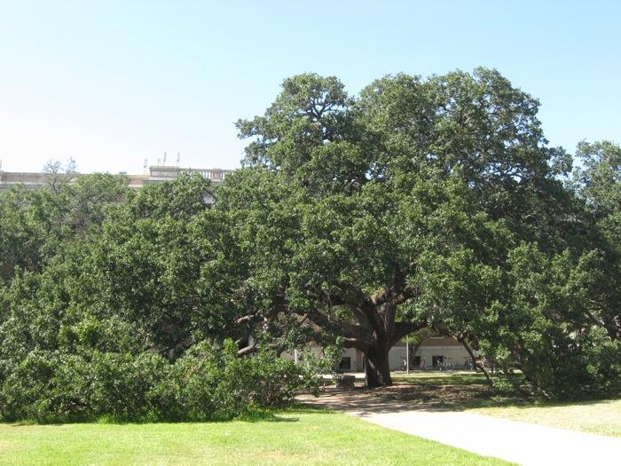 Century Oak, Texas A&M photo by Kathy Miller