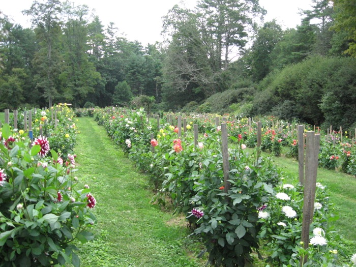 The dahlia beds at High Hampton Inn Cashiers NC photo by Kathy Miller