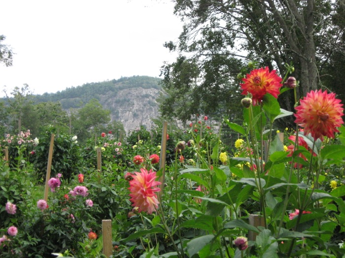 Dahlias and Rock Mountain photo by Kathy Miller