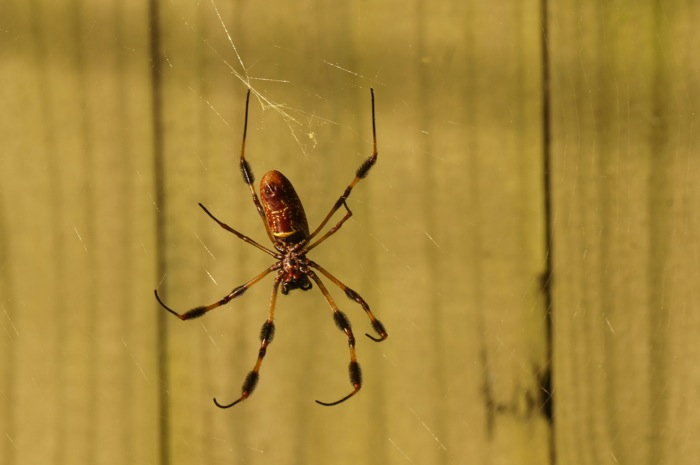 Gold and black banana spider for the Missouri game photo by Kathy Miller