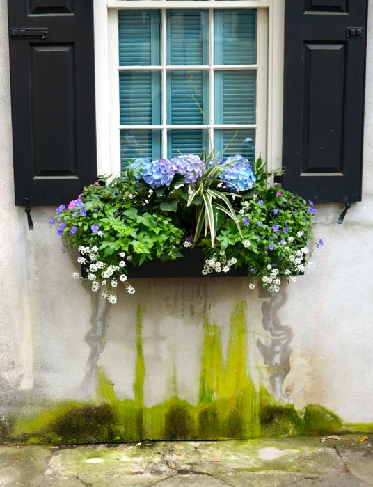 Charleston window box with lime green moisture photo by Kathy Miller