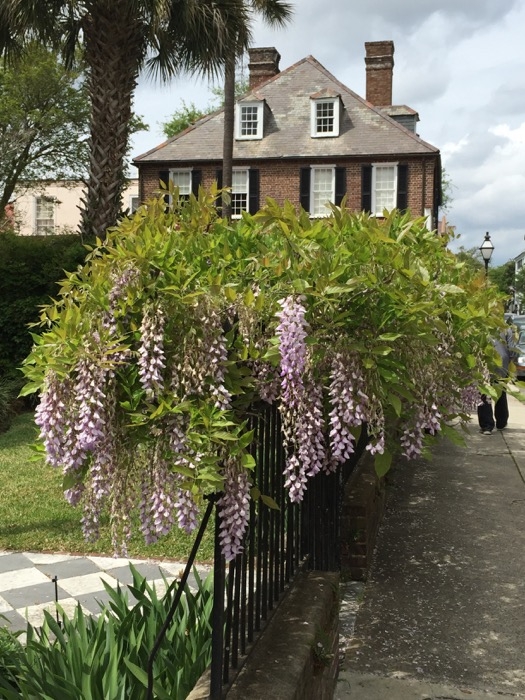 Wisteria on Gate photo by Kathy Miller