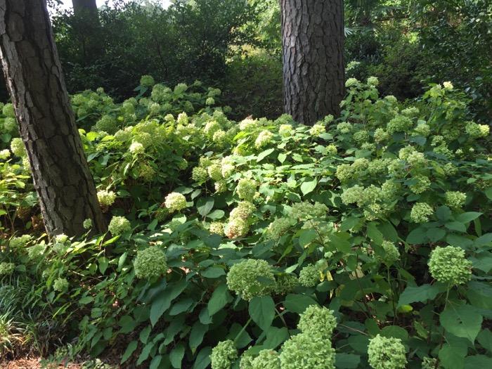 Hydrangeas in the shade White Garden, Duke Universtiy photo by Kathy Miller