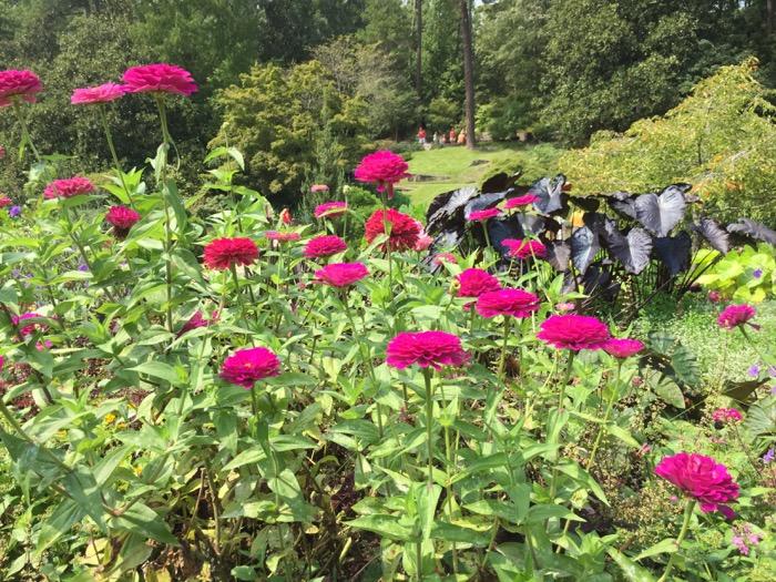 Pink Zinnias in the Sarah P. Duke Gardens Duke University photo by Kathy Miller