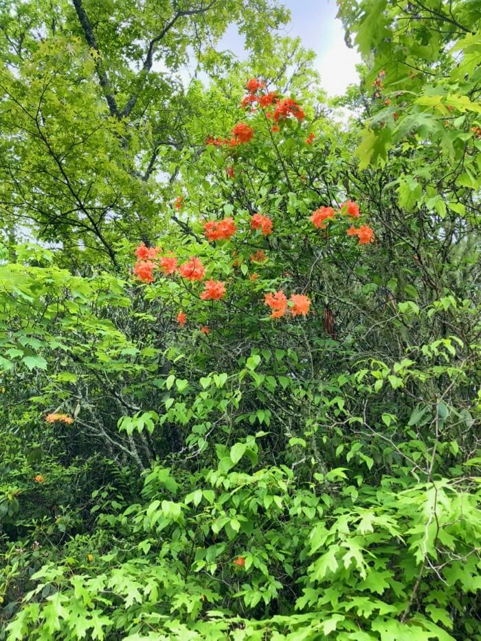 Flame azalea in Panthertown photo by Kathy Miller
