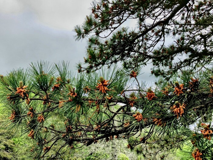 Pine tree coloring photo by Kathy Miller