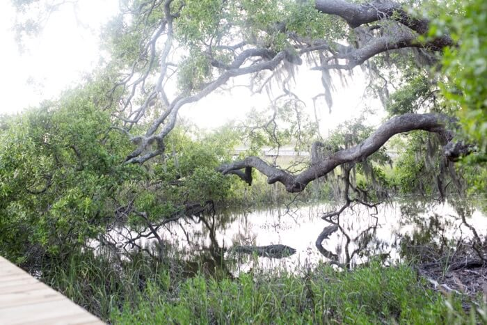 Wilsterman giant oak in the marsh photo by Susan Scarborough