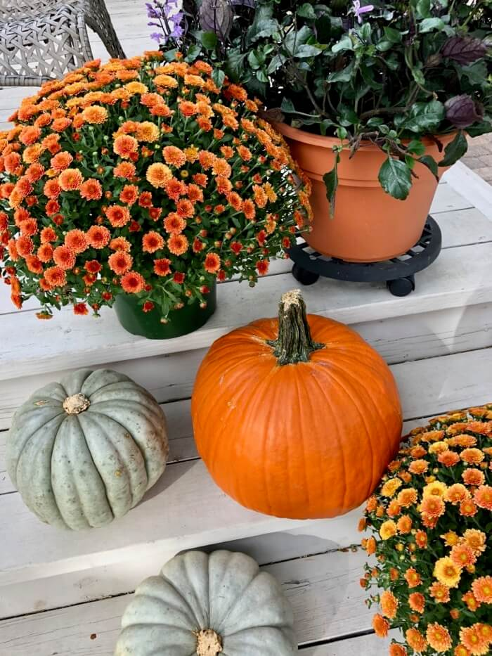 Mums, pumpkins and lavender photo by Kathy Miller